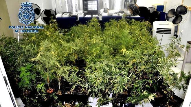Hallan más de 240 plantas de marihuana junto a un colegio