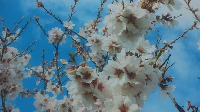 No sólo los cerezos florecen