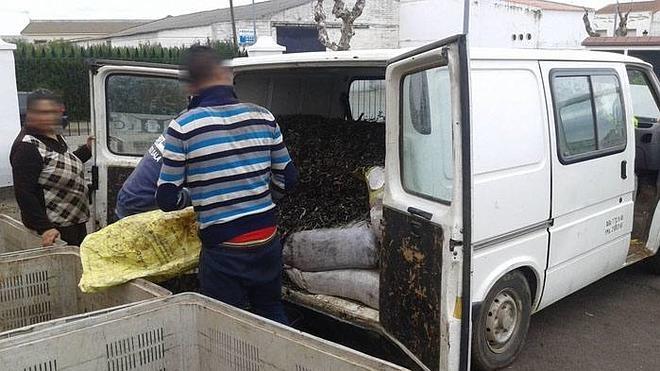 Recuperan 3.830 kilos de aceitunas robadas en Guareña