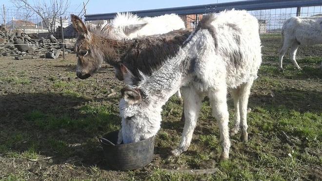 El Refugio de Málaga rescata a 130 burros en Guijo de Granadilla