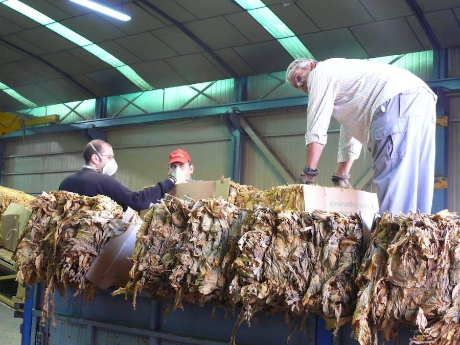 El sector tabaquero pide a la Junta un plan de sostenimiento del cultivo