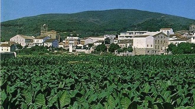 Altadis adquirirá este año un total de 8.500 toneladas de tabaco en verde extremeño
