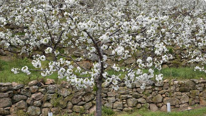 Comienza la floración en el Valle del Jerte, que espera su plenitud la próxima semana