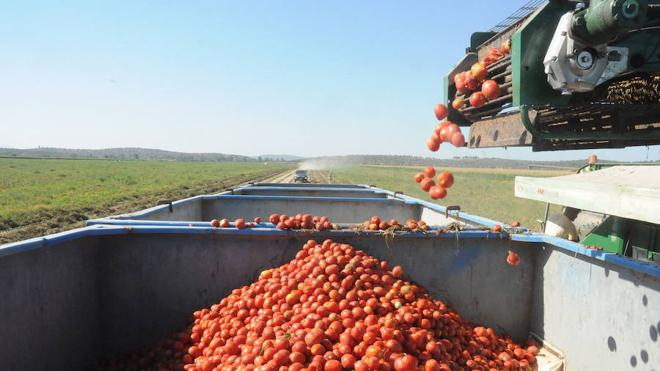 La contratación de tomate sube un 14% aunque los precios siguen cayendo