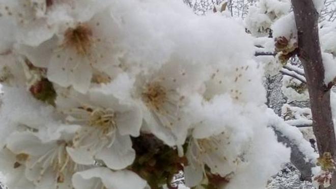 Más de un millón de cerezos inician la floración en el Jerte bajo la nieve