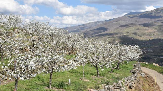 Arrancan las actividades principales de la Fiesta del Cerezo en Flor