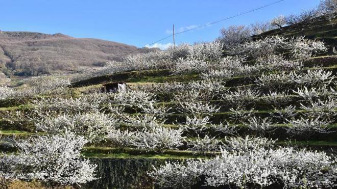 El cerezo en flor ya ofrece su espectáculo visual en el Jerte