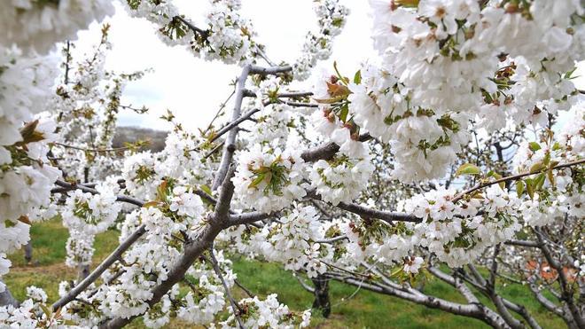 El Jerte prevé recibir unas 50.000 personas durante el Cerezo en Flor