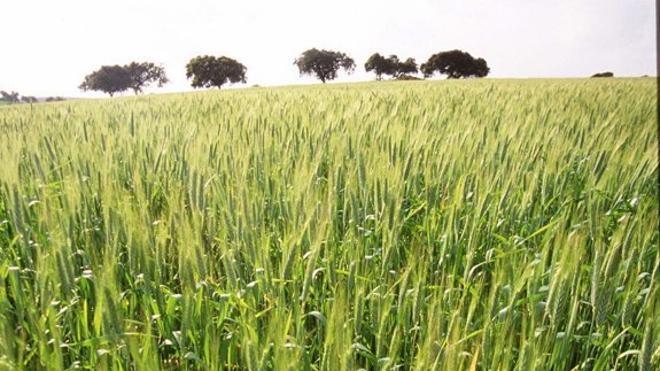 APAG denuncia la situación agónica del cereal de invierno