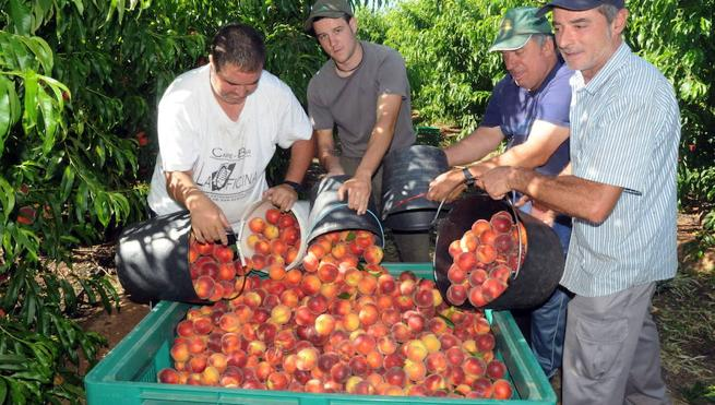 El sector de la fruta no encuentra mano de obra para garantizar la recolección