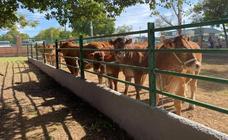 La ganadería Agropecuaria Ramos Heras Espj de las más premiadas en el concurso de Limusin